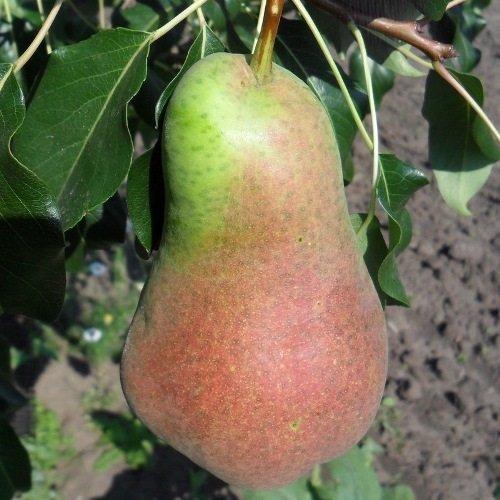Плод Русской красавицы