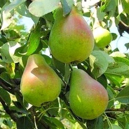 Русская красавица с плодами
