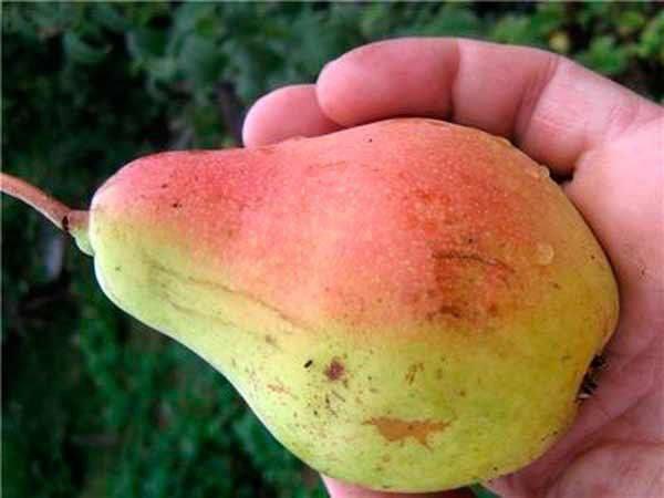 плод груши Русская красавица