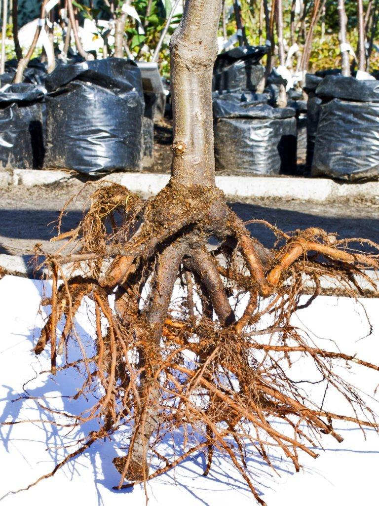 как растет корень груши фото несмотря уменьшение