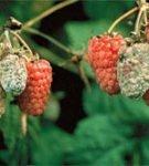 Серая гниль ягод малины