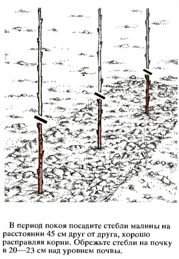 Схема посадки малины