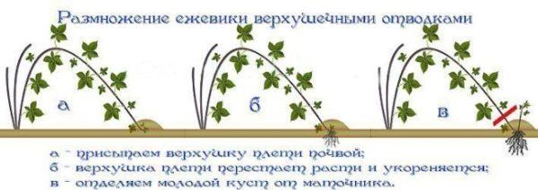 Схема посадки малины верхушками