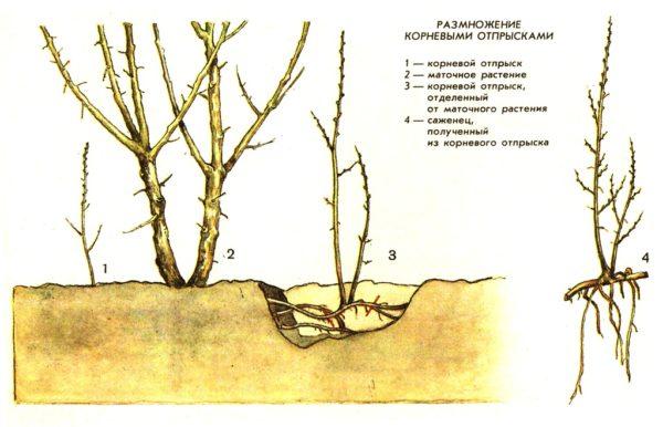 Схема размножения корневым отпрыском