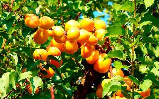 Урожай абрикоса Триумф Северный