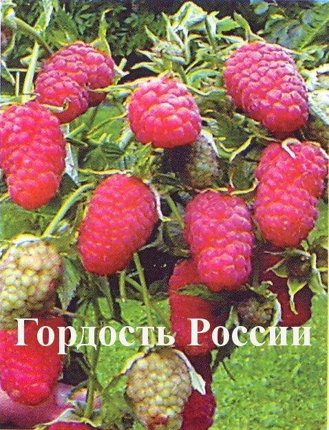 Ягоды малины Гордость России
