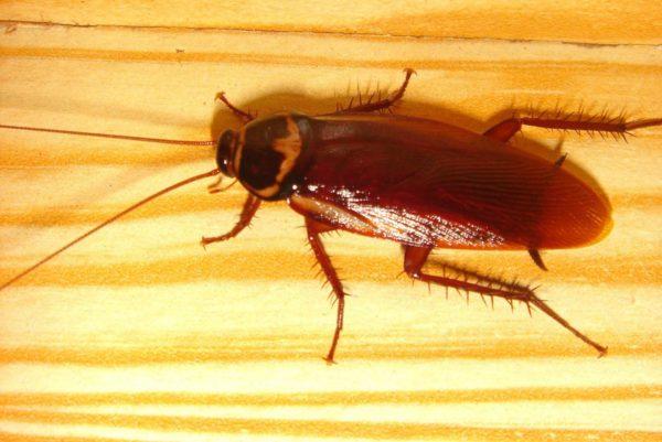 Запах нашатыря отпугивает тараканов