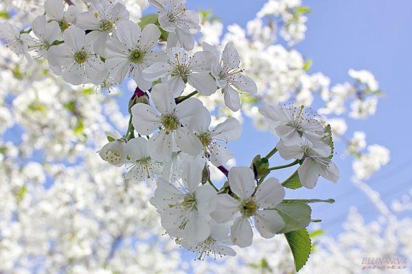 Цветение Тургеневки