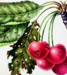 Дырчатая пятнистость плодов