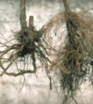 Фитофтороз корней