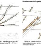 Продолжение формирования веерной черешни