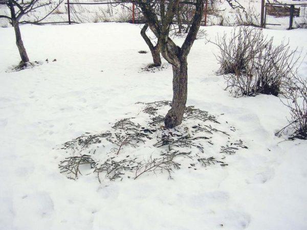 дерево грушы зимой