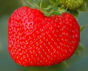 Крупноплодная садовая земляника Королева Елизавета