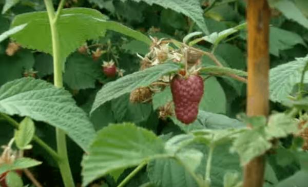 Raspberry hussar