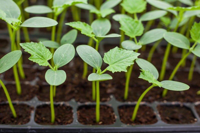 Почему не растёт рассаду 655