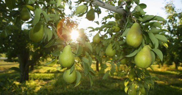 Плоды груши на ветке