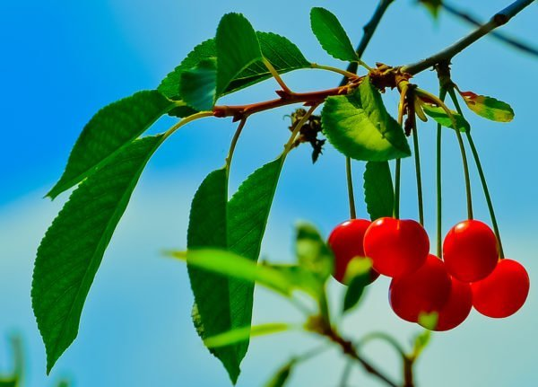 Плоды вишни на ветке