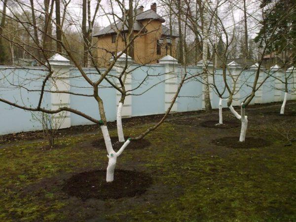 Подготовка черешни к зиме