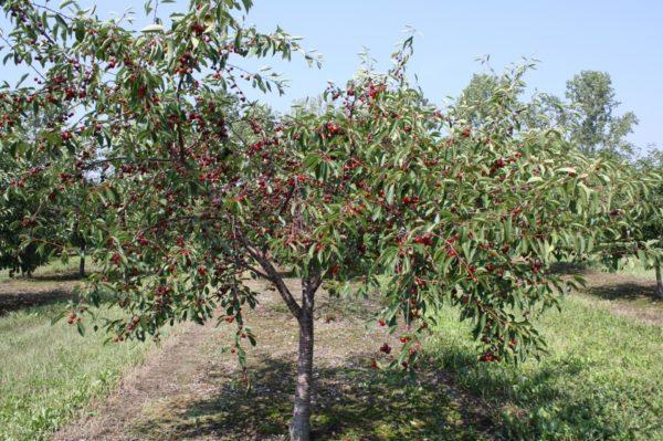 Подходящее место для вишни