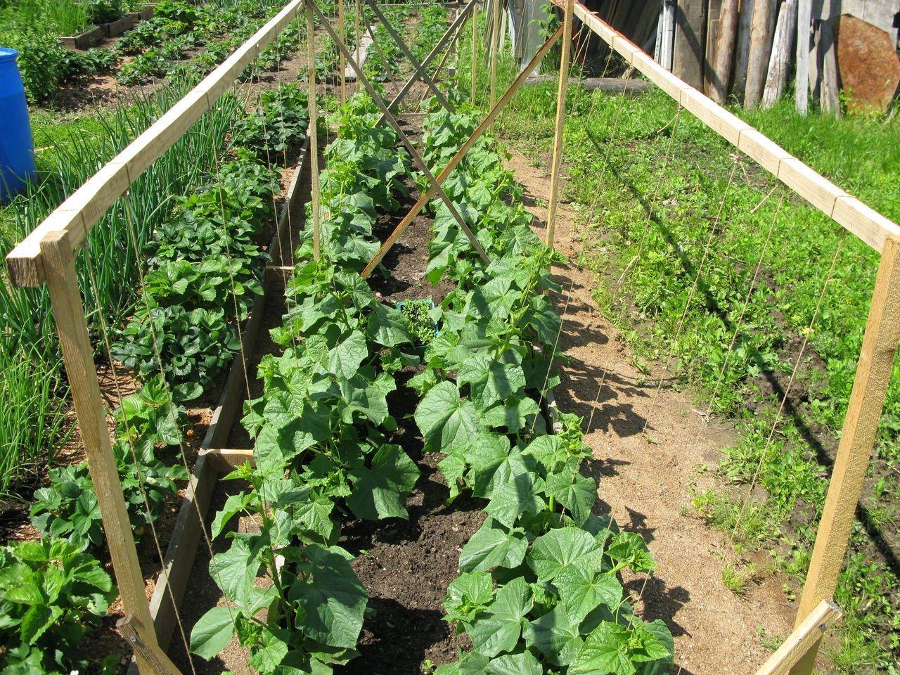 Способы выращивание огурцов в открытом грунте