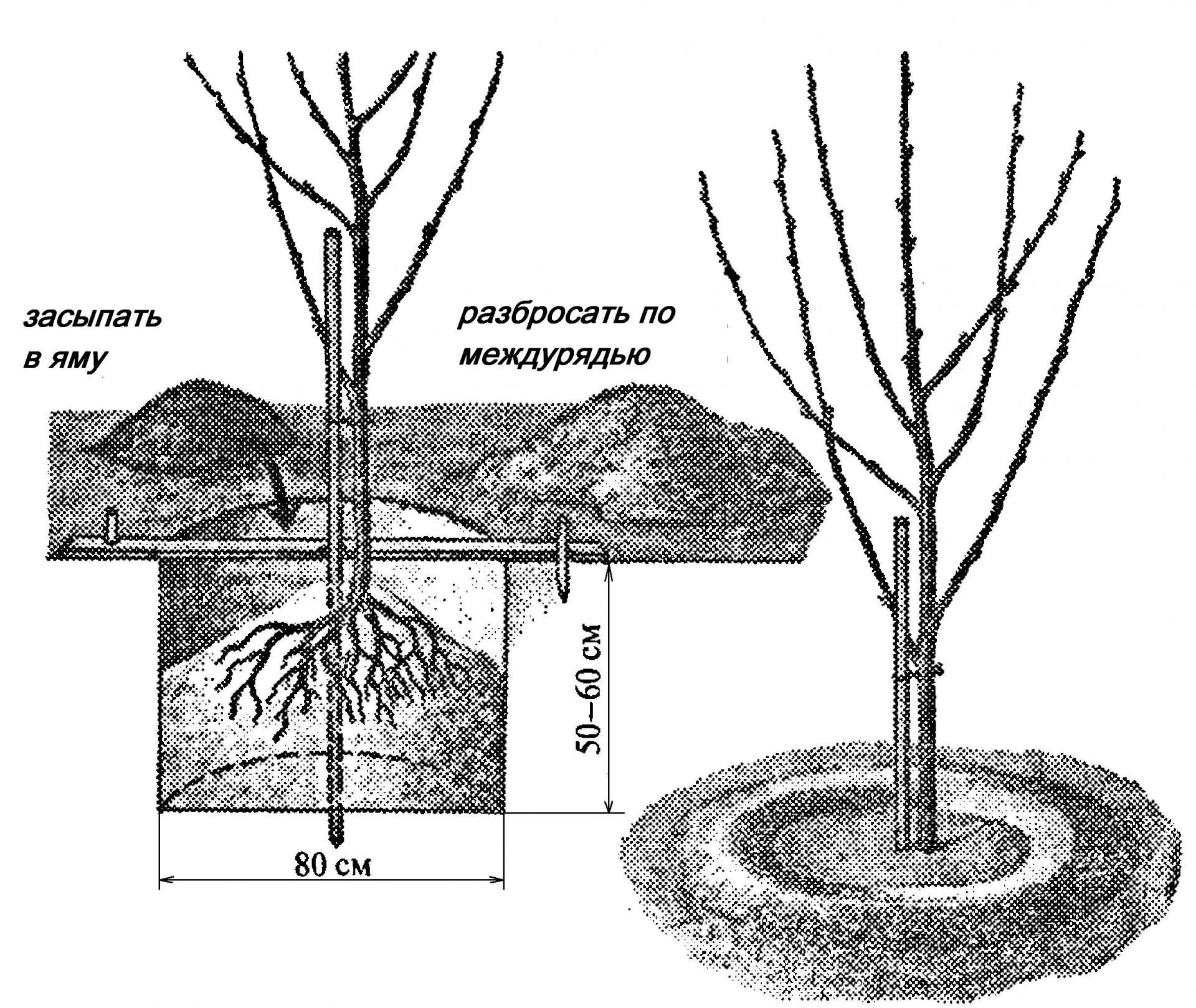 Как сажать вишню весной пошаговая инструкция 55
