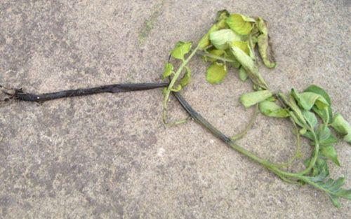 Рассада картофеля, поражённая «чёрной ножкой»