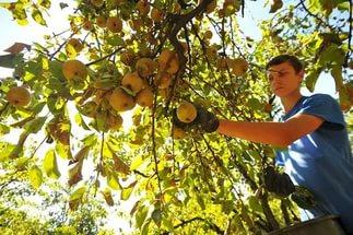 Сбор урожая груши сорта Видная