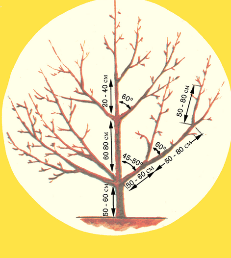 Схема обрезки вишнёвого дерева