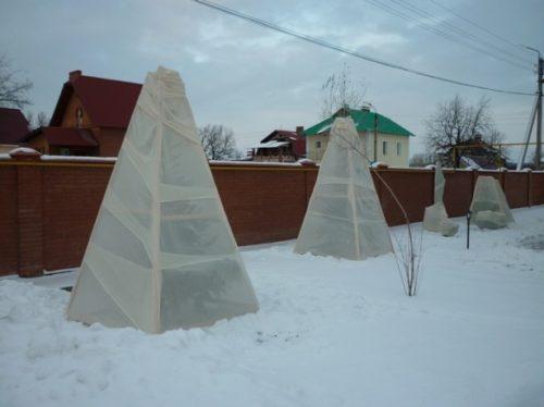Укрытие черешни на зиму