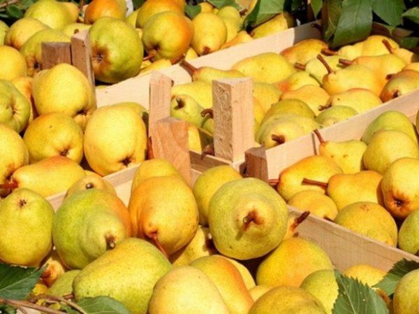 Урожай груш в ящиках