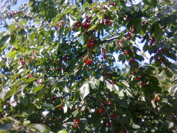 Ветки черешни с ягодами