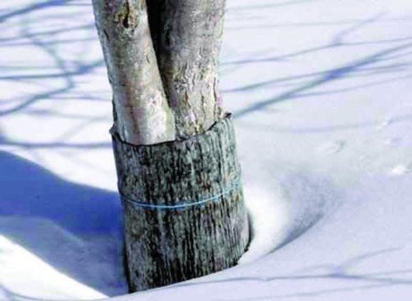Вишня зимой