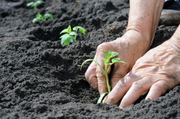 Высадка рассады картофеля в грунт