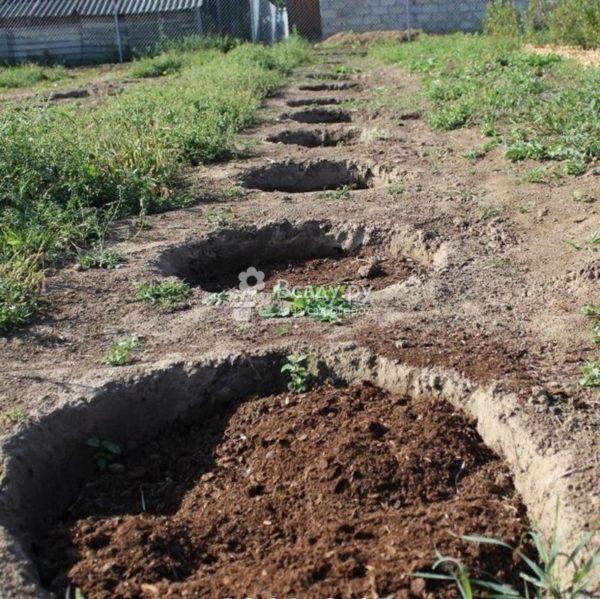 Ямы для посадки смородины