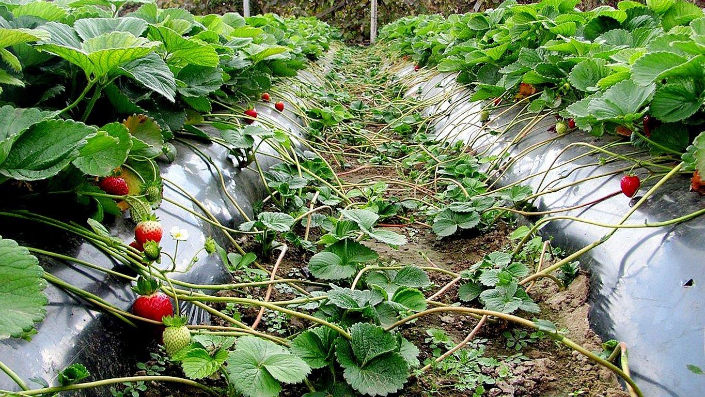 Земляника садовая выращивание и уход после сбора урожая 6