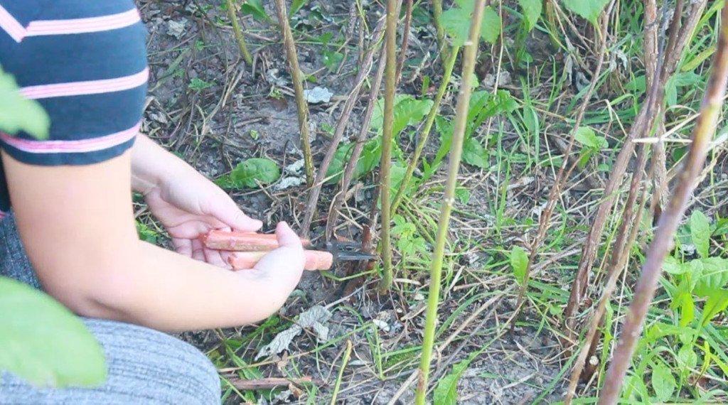 Как сажать малину осенью с корнями 820