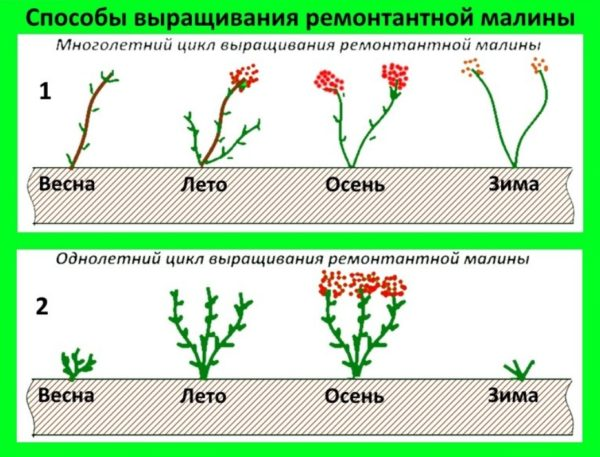 Циклы роста ремонтантной малины