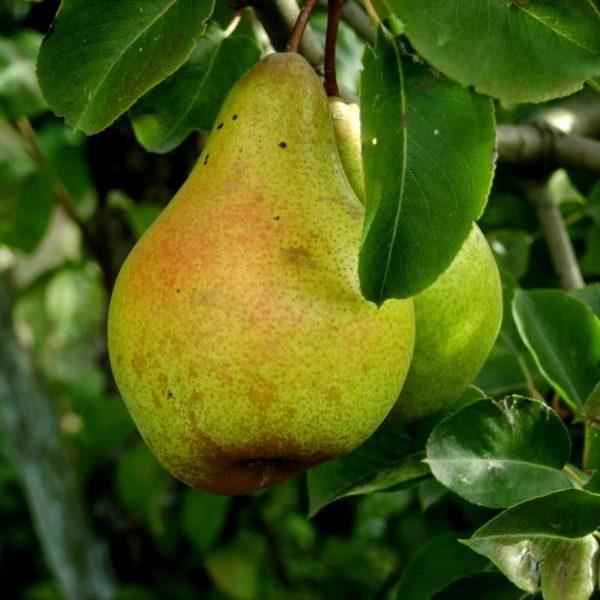 Плод груши Ноябрьская