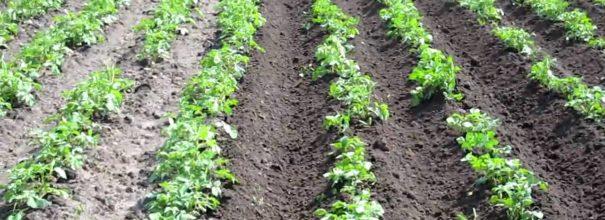 голландский метод выращивания картошки
