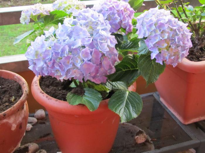 Цветы гортензия в домашних условиях посадка и уход