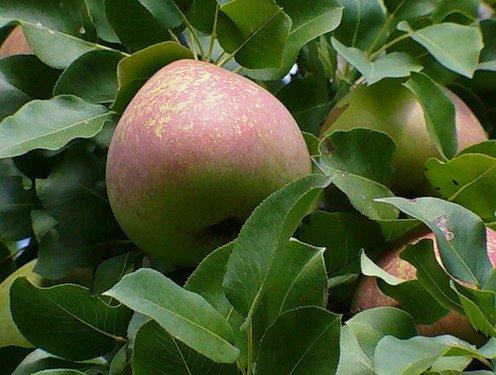 Листья и плоды груши Ноябрьская
