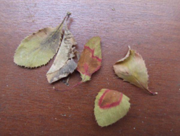 Листья с серой гнилью