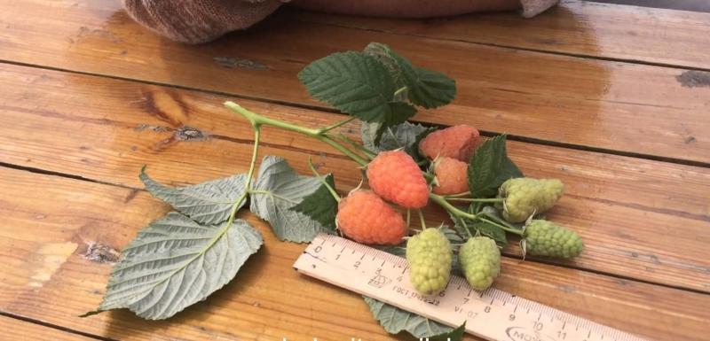 Ремонтантная малина оранжевое чудо выращивание и уход обрезка 46