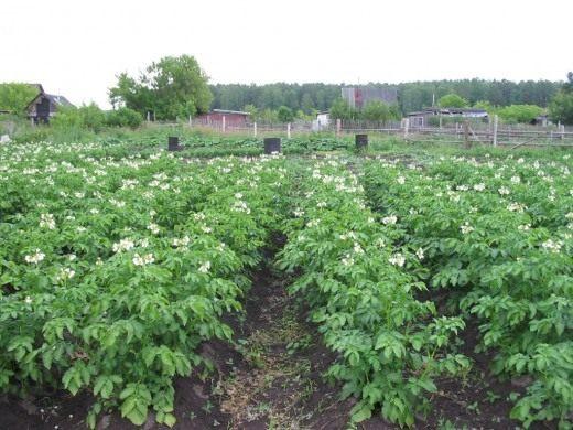 Цветение картофеля Иван-да-Марья