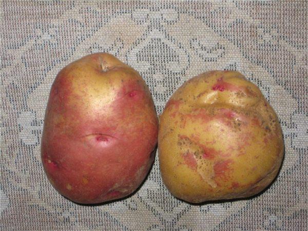 Клубни картофеля Иван-да-Марья