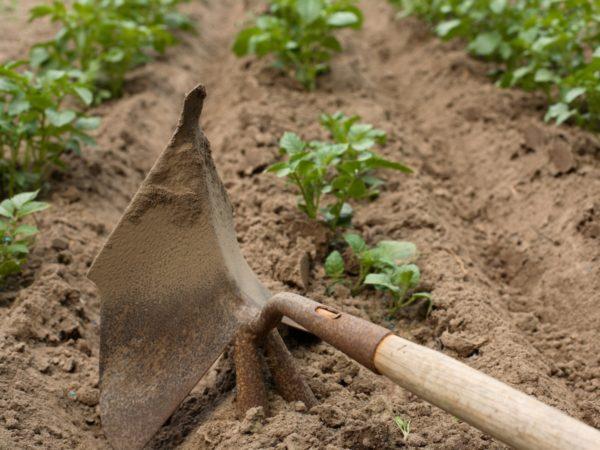 Рыхление картофеля