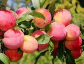Слива Персиковая славится своими красивыми крупными плодами