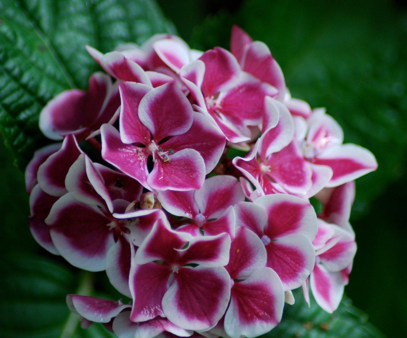 Цветок гортензия комнатная как ухаживать фото