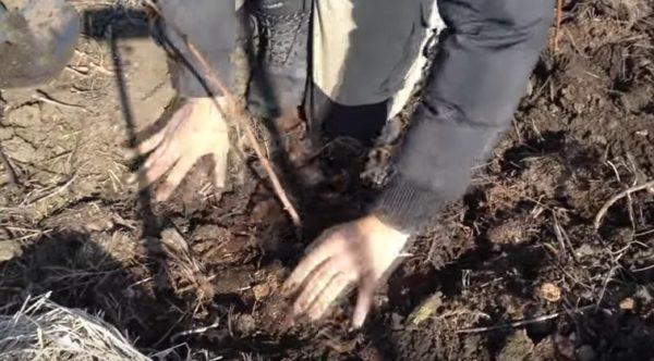 Завершающий этап посадки малины