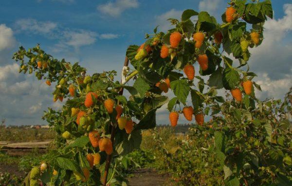 Куст малины Оранжевое чудо